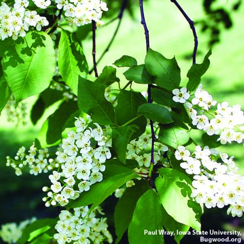 Common chokecherry. Photo: Paul Wray, Iowa State University, Bugwood.org.