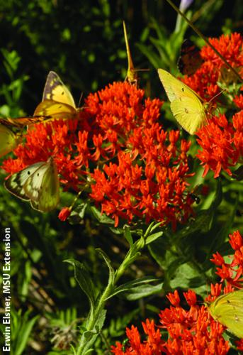 Butterfly weed. Photo: Erwin Elsner, MSU Extension.