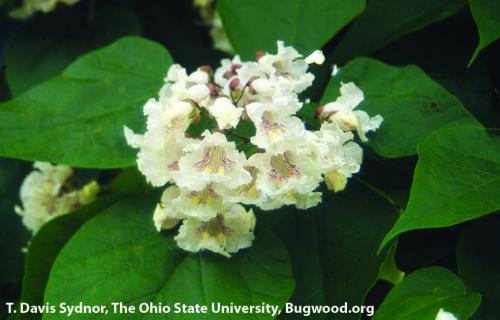Catalpa. Photo: T. Davis Sydnor, The Ohio State University, Bugwood.org