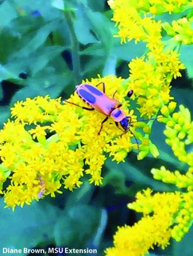 Goldenrod. Photo: Diane Brown, MSU Extension