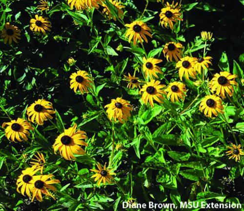 Black-eyed Susan. Photo: Diane Brown, MSU Extension