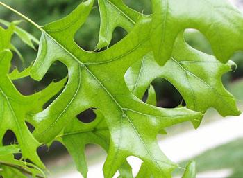 Avoid Oak Wilt By Not Pruning Oak Trees April October