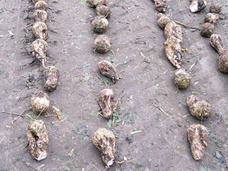 Aphanomyces scarred sugarbeets