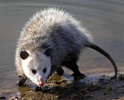 How To Get Rid Of Possums Diy Possum Removal