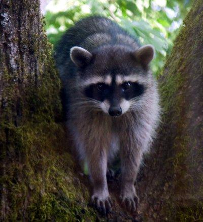 Winter versus raccoons, skunks and opossums - MSU Extension