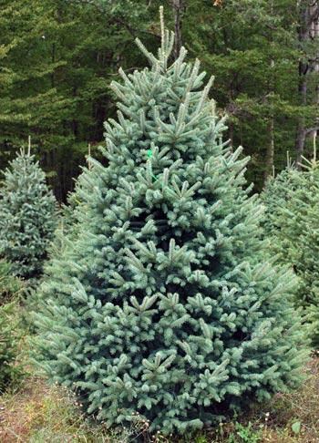 black hills - White Spruce Christmas Tree