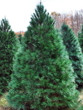 Choosing the right Christmas tree - Christmas Trees