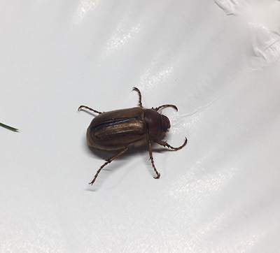 european chafer adult