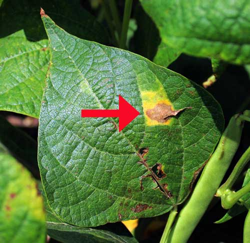 Dark Red Kidney Bean Leaf Showing Bacterial Spot Symptom Brown With Yellow Halo Photo Credit Fred Springborn Msue Viral Disease Signs