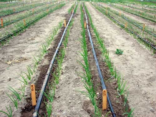 Irrigation And Disease Development In Michigan Vegetables