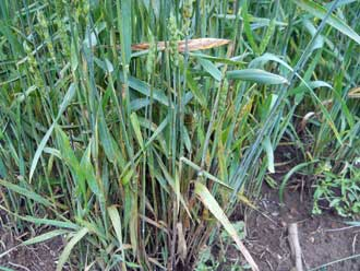 Plant infected with stem rust