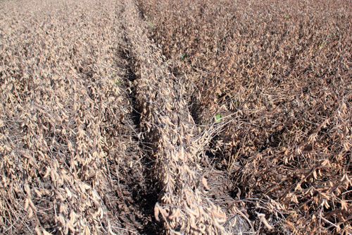 Early planted soybeans
