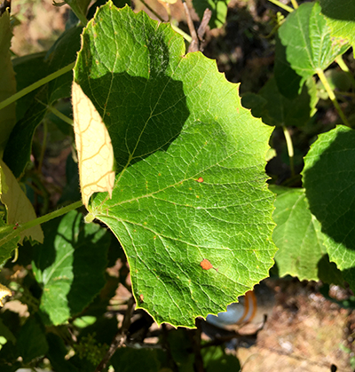 Black rot infections beginning to show on Concord leaves.  Photo by Brad Baughman
