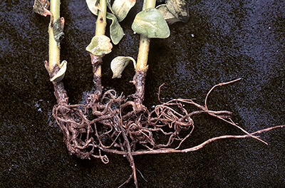 Rotted roots of snapdragon