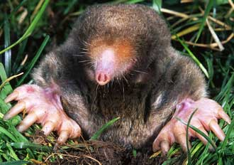 Reduce lawn and garden damage caused by moles skunks and raccoons