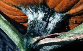 Powdery mildew on pumpkin