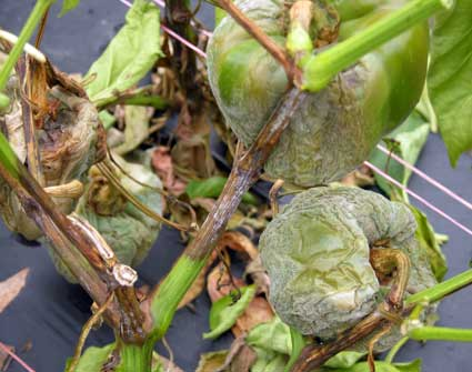 Phytophthora on pepper