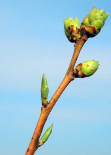 Plant Buds Signal The Beginning Of Spring Msu Extension