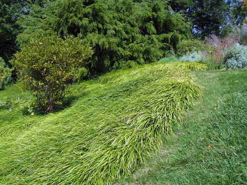 Liriope Is A Sy Ground Cover That Great To Replace Turf On Steep Bank Photo Credit Rebecca Finneran Msu Extension