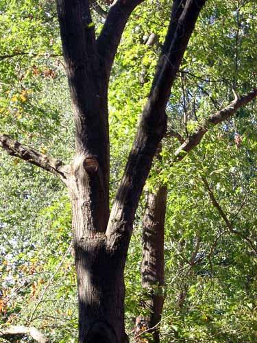 Left Red Oak Tree Pruned In April Right Same June Photo Credits Rebecca Finneran Msu Extension