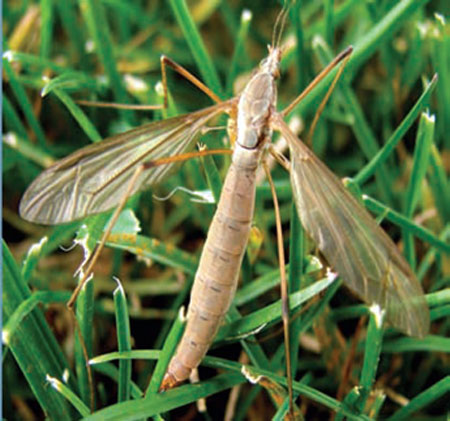 Look Out For European Crane Flies And Turf Damage In