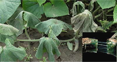 cucumber beetle damage on leafs