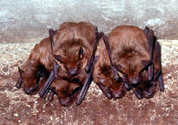 How to remove flying bats from your house | MSU Extension How To Turn Your Bat Into An Apartment on