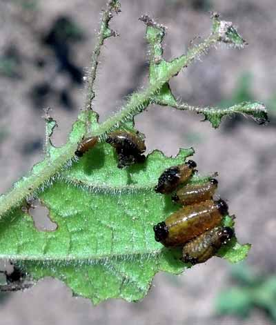 Colorago potato beetles