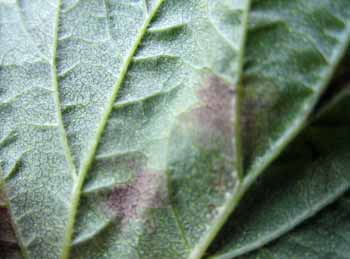 Downy mildew sign