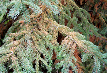 Cooley Spruce Adelgid Gall Mite Needle Damage