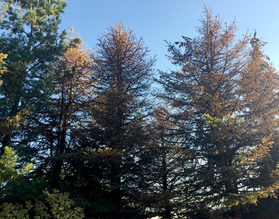 blue spruce defoliation
