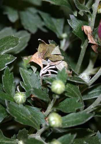 Tomato Spotted Wilt Virus Found In Fall Garden Mums Msu