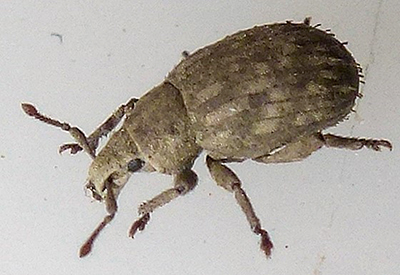 crusted root weevil