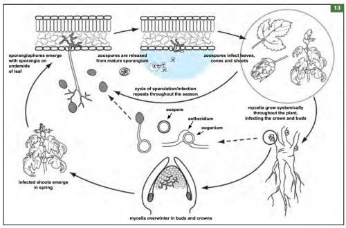 P. humuli disease cycle