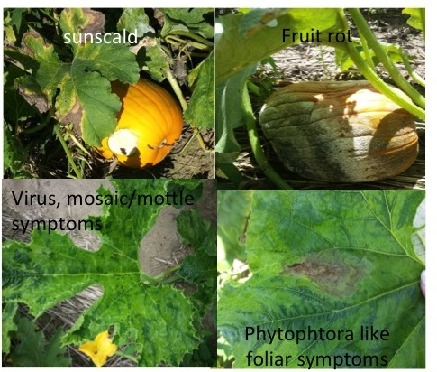 Pumpkin diseases