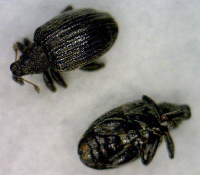 Apple flea weevil adults