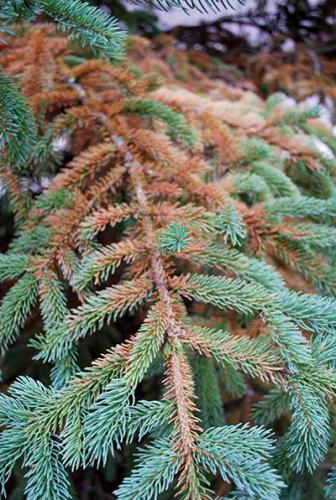 Mite Damage On White Spruce Needles