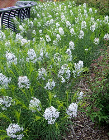Amsonia during early summer