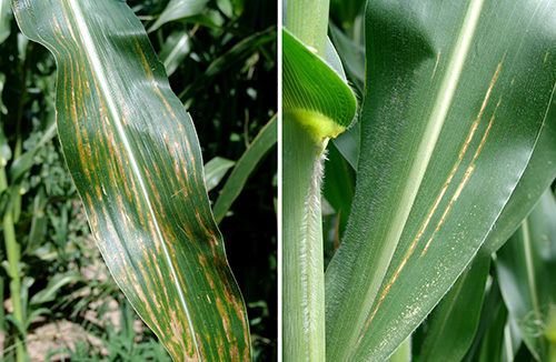 Bacterial leaf spot on corn
