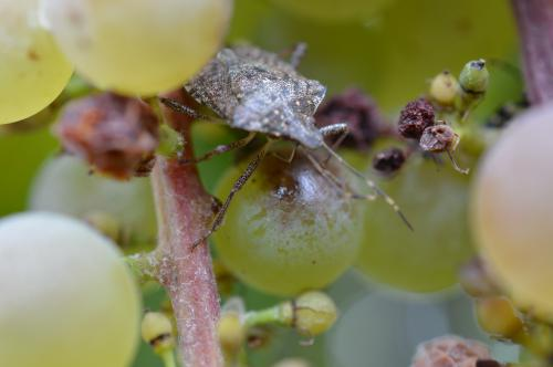 Brown marmorated stink bug on grape