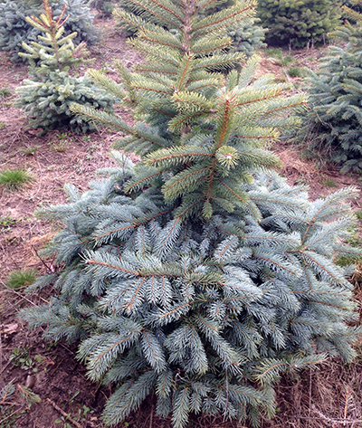Winter injury above snow line on blue spruce