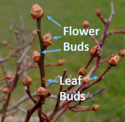 Blueberry flower and leaf buds ready to open