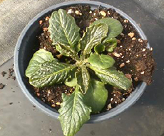 Broad mite damage on gerbera