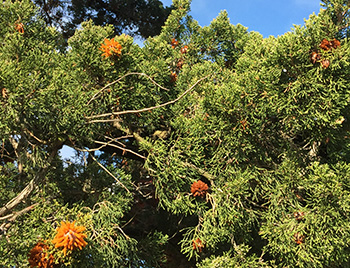 Cedar-apple rust in tree