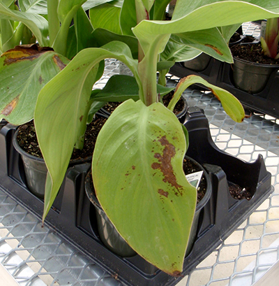 Brown spots on canna lilly