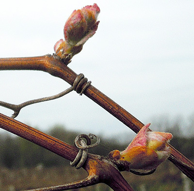Concord grape at bud burst