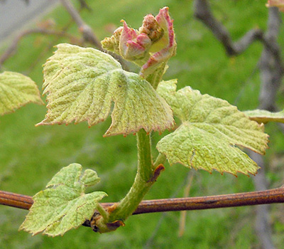 Concord grape shoot