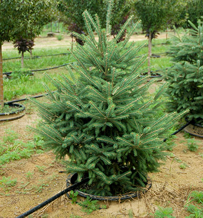 Living Christmas trees: Another real tree option - Christmas Trees