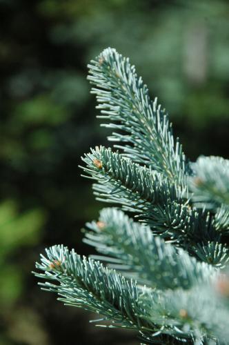 Corkbar fir