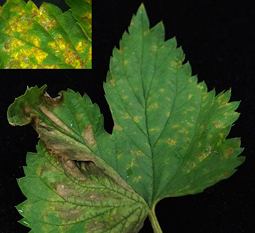 Downy mildew on hop
